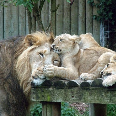lion-with-cubs-1542646
